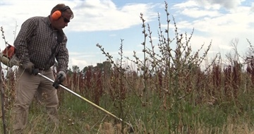 Noxious weed video shows reduction plan using goats, insects